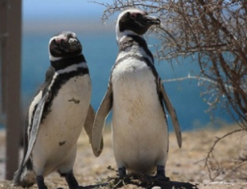 The Magellanic Penguins in Punta Tombo Nature Reserve