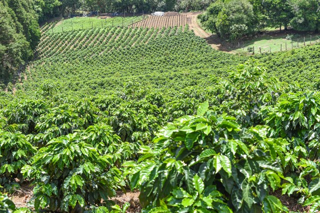 coffee-growing-hillside-Alajuela-tico-costa-rican-coffee