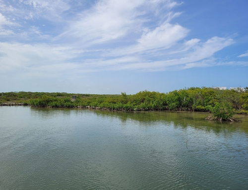 Mangrove Reforestation on Ambergris Caye – a Collaboration Between ACES and ECI